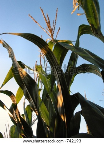 Corn in late Summer - stock photo