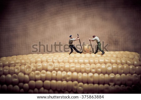 Corn maize harvest. Color tone tuned. Macro photo - stock photo