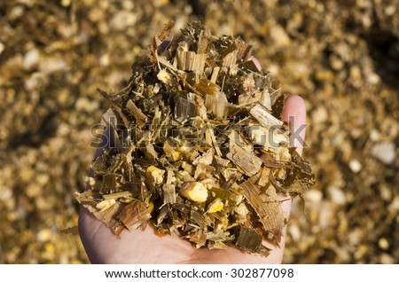 Corn/Maize silage animal feed - stock photo