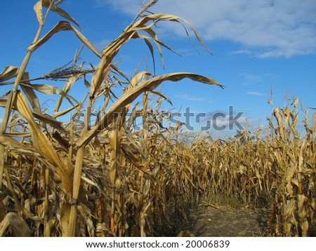 Corn Maze and Blue Sky (Dundee, Michigan) - stock photo