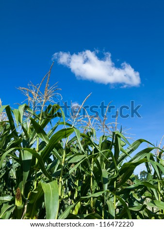 Corn of the cob is growing under Whit cloud and blue sky - stock photo