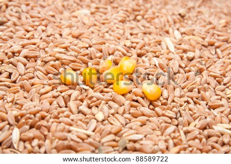 corn on the background of wheat - stock photo