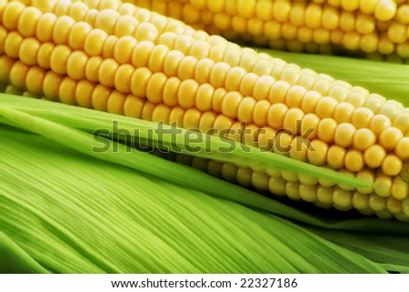 Corn on the cob between green leaves - stock photo