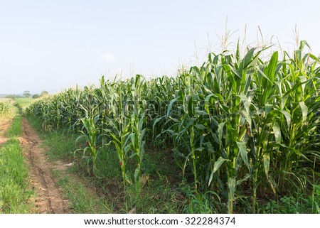 Corn on the cob ,field of corn ready for harvest - stock photo