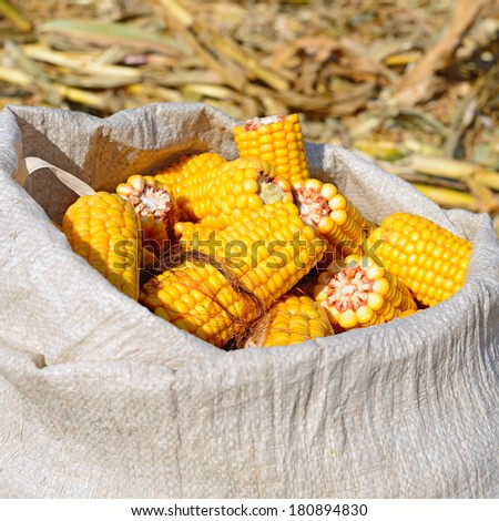 Corn on the cob in the bag