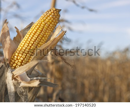Corn on the cob still in the field.