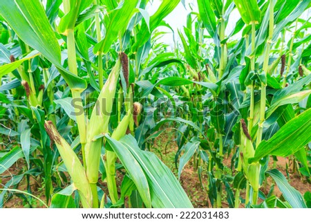 Corn on the farm