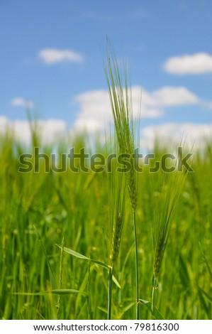 Corn on the field - stock photo