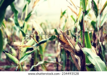 Corn on the stalk. Agricultural field at harvest  - stock photo