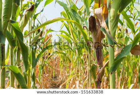 Corn on the stalk in the field - stock photo