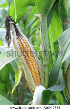 Corn on the stalk in the field,  Corn for grain is fully sorted. From the trunk to get fertilizer and nutrient-rich plant food sources.  - stock photo