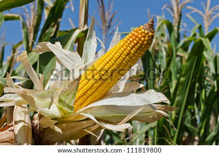 Corn on the stalk in the field, horizontal shot - stock photo