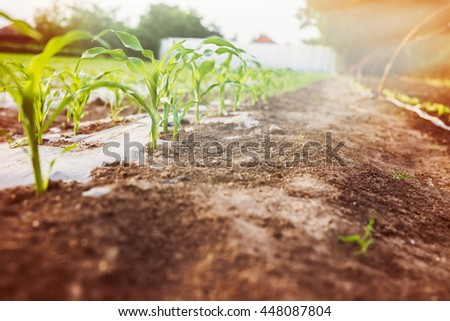 Corn plants in the garden. - stock photo