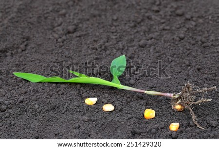 Corn seedling to plant on ground - stock photo