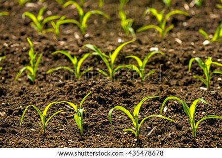 corn seedlings on a field - stock photo