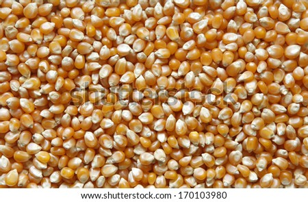 Corn seeds - stock photo