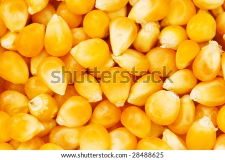 Corn seeds arranged at the background - stock photo