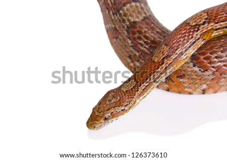 Corn snake against white background - stock photo