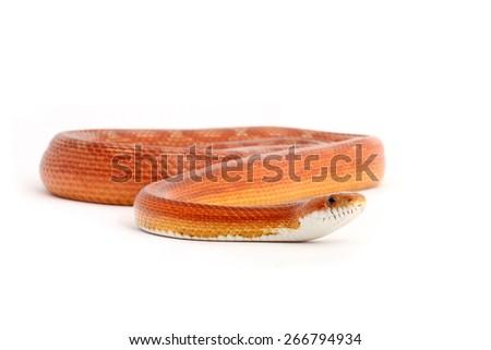 Corn snake closeup on white background - stock photo