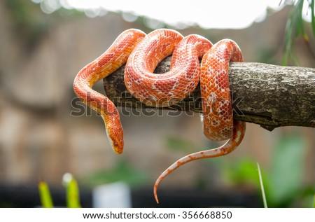Corn snake on a branch - stock photo
