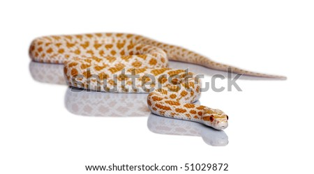 Corn snake, red rat snake, Pantherophis guttattus, in front of white background - stock photo