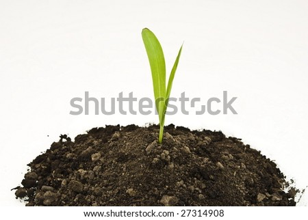 Corn sprout in soil