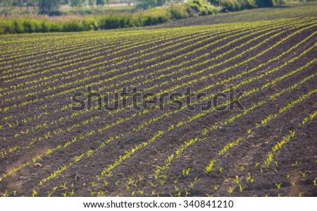 Corn sprouting at a farm - stock photo