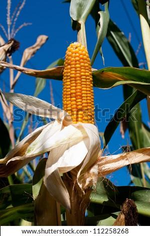 Corn stalk on the blue sky - stock photo