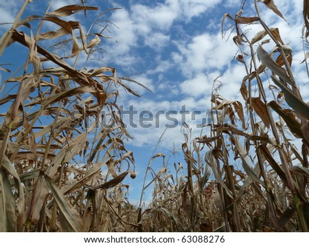 corn stalks - stock photo