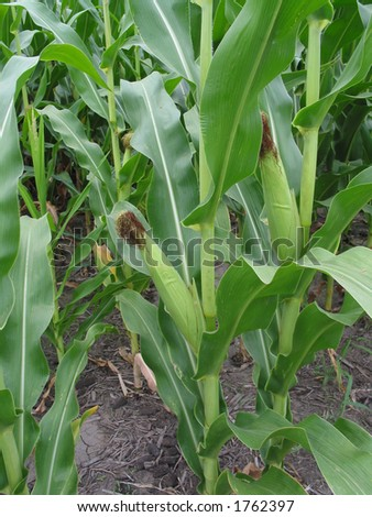 Corn Stalks and Ears - stock photo