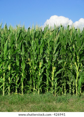 Corn Stalks at edge of Field - stock photo