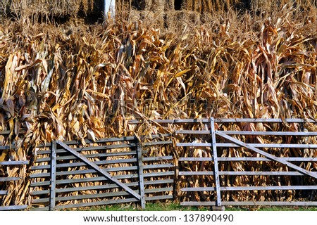 corn stems - stock photo
