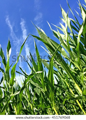 corn with a blue sky - stock photo