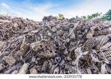 Corncob after chip corn grain. In thailand use scrap corncob to Biomass Energy power, Charcoal Cooker and animal feed - stock photo