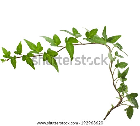 Corner border of Green ivy plant close up isolated on white background  - stock photo