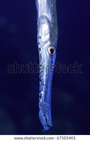 cornetfish - stock photo