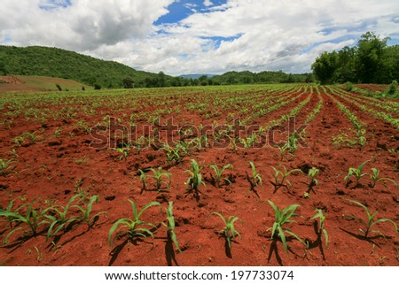 cornfield - stock photo