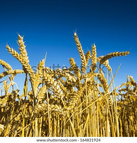 cornfield agriculture rye landscape on blue sky - stock photo