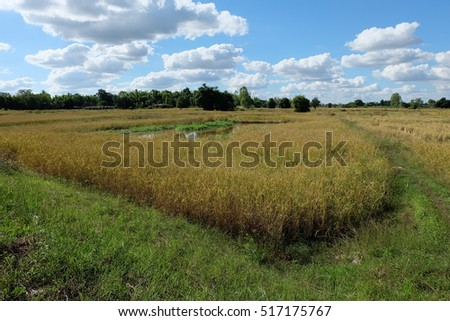cornfield and perfect beautiful blue sky with cloud and sun which look like a painting