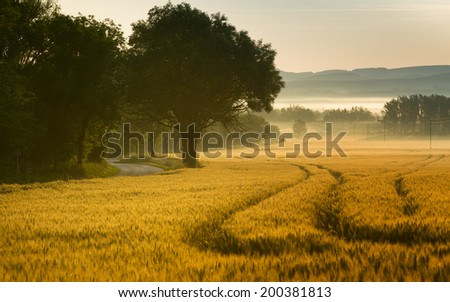 Cornfield and trees,morning with fog