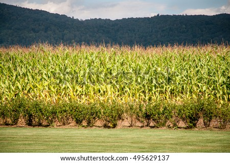 Cornfield at the base of the mountain
