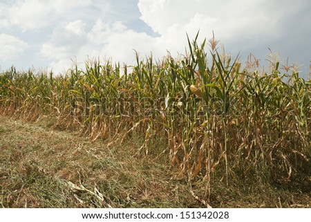 cornfield destroyed drought - stock photo
