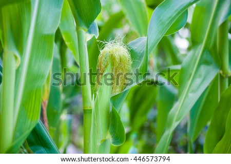 cornfield, growing crops, ecological, green - stock photo