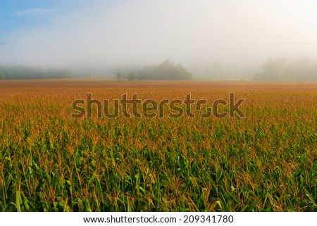 Cornfield in the early morning fog on a summer morning, Stowe Vermont, USA - stock photo