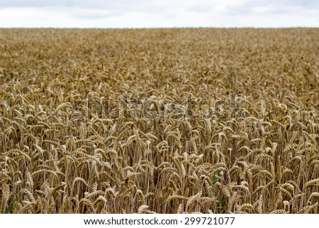 cornfield in the summer