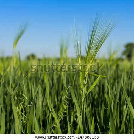 Cornfield on blue Sky