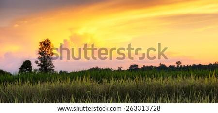 Cornfield with Barley - stock photo