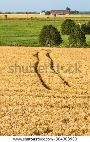 Cornfield with cows on a field in countryside - stock photo