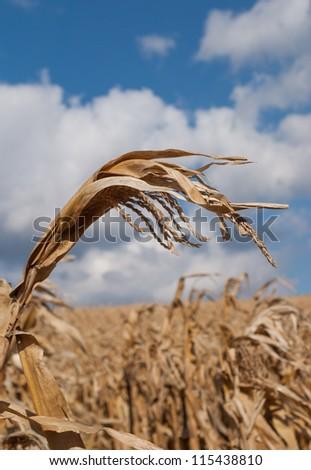 cornfields - stock photo