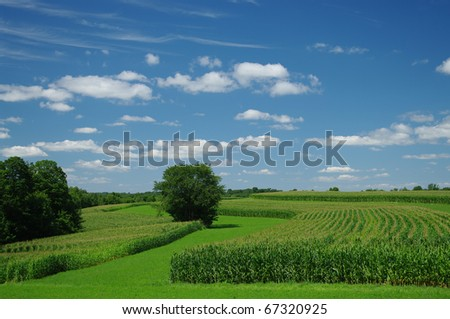 Cornfields in July: Cornstalks have grown almost to their full height by the end of July in southern Wisconsin. - stock photo